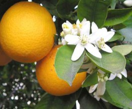 Neroli extract is one of the earth's finest properties